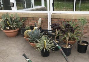 Cacti waiting to be planted